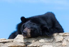Аладдин овдовел: белогрудая медведица Будур не вышла из спячки