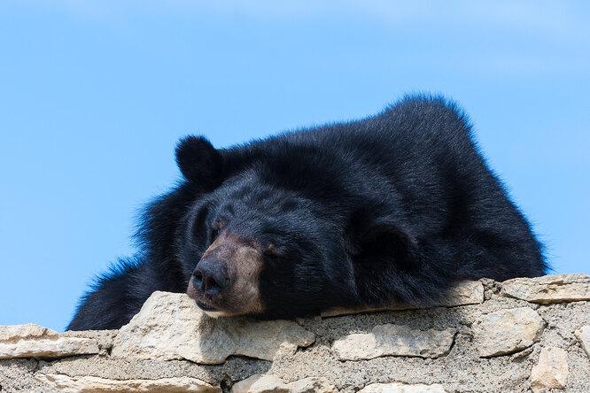 Аладдин овдовел: белогрудая медведица Будур невышла изспячки