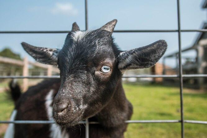 Оригинально имило: фермер нашёл способ выкормить 10 новорождённых козлят