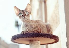 Если очень хочется, но нельзя: 5 самых гипоаллергенных пород кошек