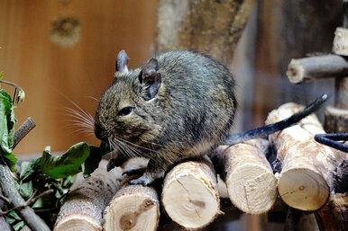 Самые умные грызуны: какое домашнее животное выбрать