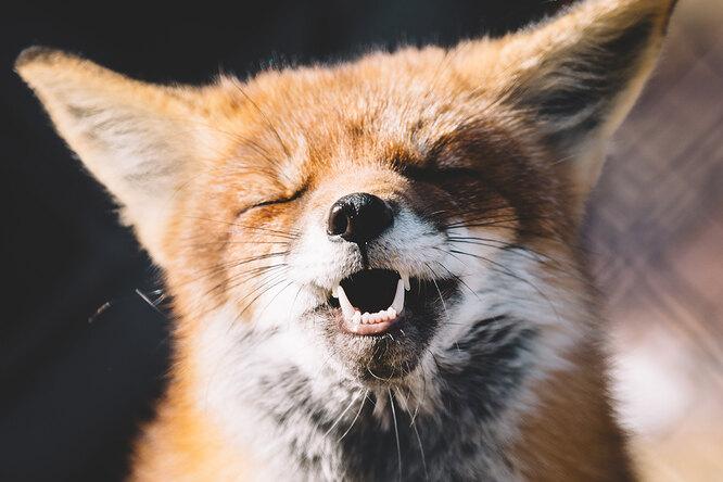 Хихикающая лисица стащила ухозяйки телефон исняла смешное видео