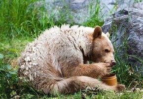 Банда медведей разоряла улья. Хозяин устал отбиваться от хищников и придумал это