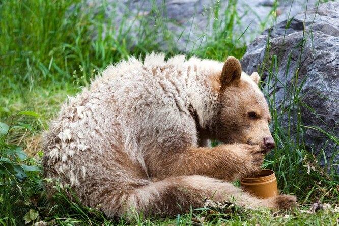 Банда медведей разоряла улья. Хозяин устал отбиваться отхищников ипридумал это
