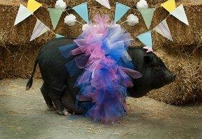 Брошенная свинья оказалась в хороших руках и стала гламурной моделью
