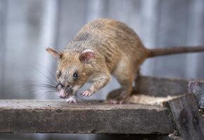 Крысу-героя наградили золотой медалью. Она спасла сотни человеческих жизней!