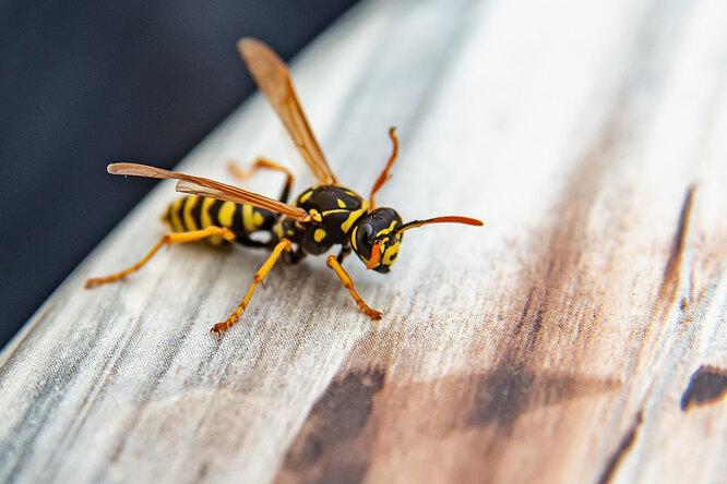 Как отличить пчелу отосы, почему они кусают, ичто сэтим делать