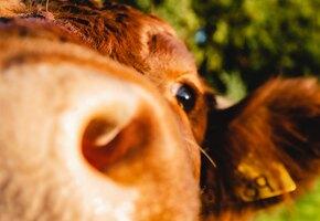 В мире набирают популярность обнимашки с коровами. Говорят, это лечит