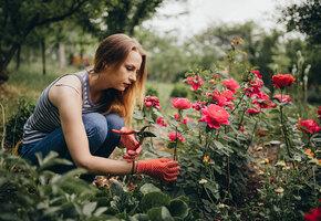 Слепые побеги и дикая поросль: как ухаживать за розами в конце лета?