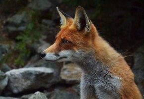 «Ворует и прячет вещи»: под Новосибирском одомашнили диких лисиц