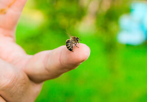 Укусы: что делать, если укусила пчела, оса или шершень?