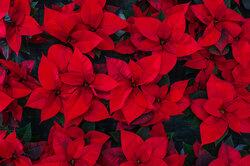Пуансеттия: сколько лет живёт рождественская звезда икак долго может цвести?