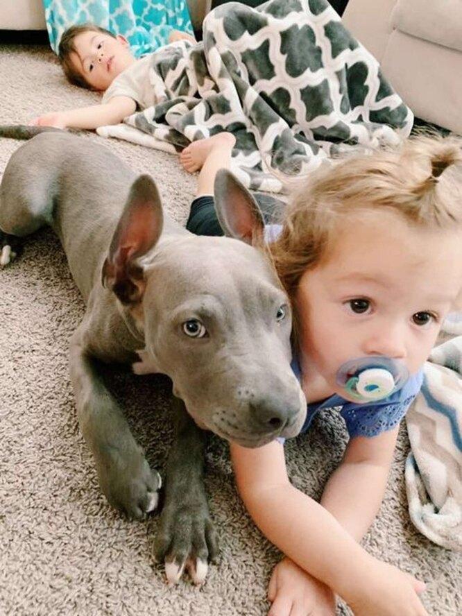 щенок питбуля и младенец