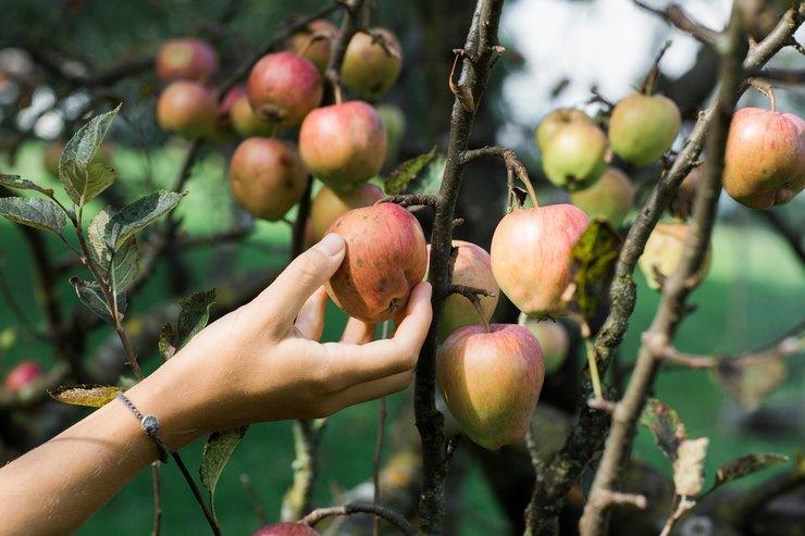 Женщина срывает яблоко