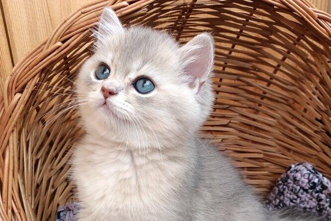 Британцы: что нужно знать, если вы берете домой котенка этой породы