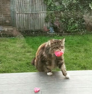 кошка приносит добычу на крыльцо