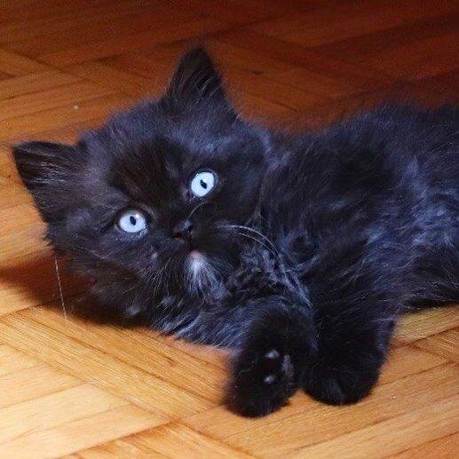 черный котенок, голубые глаза кота