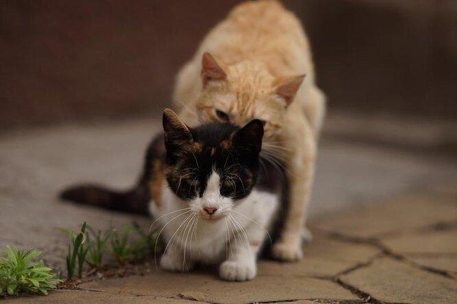 кошачий секс, размножение у кошек