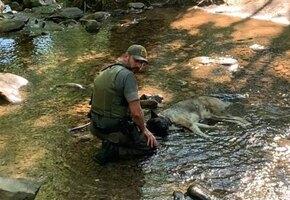 Не сдавайся, дружище! Лесничий на плечах вынес огромного пса, раненого в горах