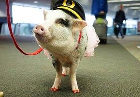 Боитесь летать? Наша свинья вас успокоит