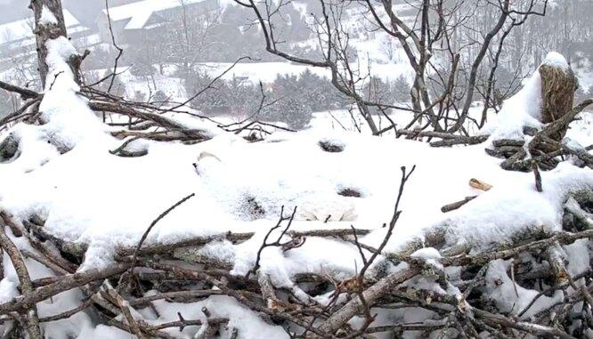 орлица в гнезде зимой