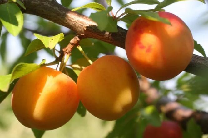 Алыча, фото с сайта магазина agro-market24
