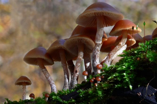 Галерина окаймленная, ядовитый гриб