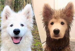 Всегда найдут лужу: смешные фото собак до и после прогулки