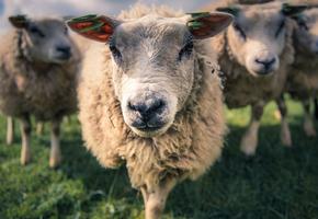 Спасайся, кто может! На мэрию турецкого города напали коза, овца и три ягненка