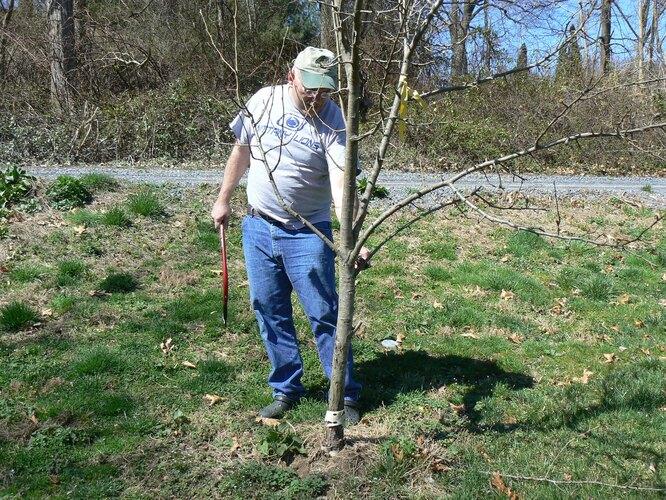 При обрезке молодой яблони осенью удаляют самые нижние ветви для формирования штамба