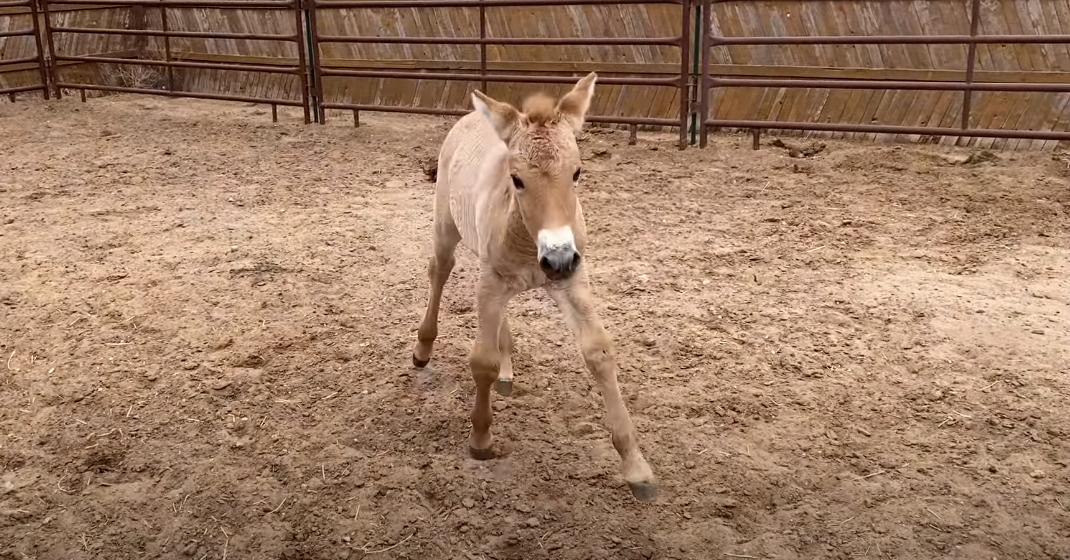 Ученые клонировали лошадь Пржевальского | Журнал Домашний очаг