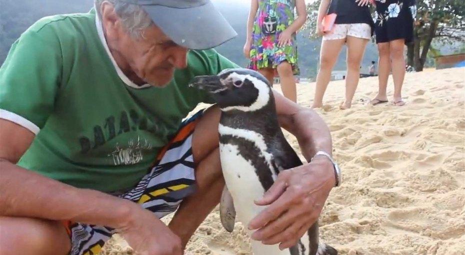 Пингвин каждый год проплывает 8 тысяч километров, чтобы встретиться со своим спасителем