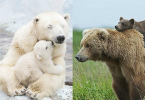 Мамы такие мамы! Как медведи учат своих малышей быть медведями