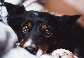 Пускать пса в постель полезно для здоровья, считают ученые