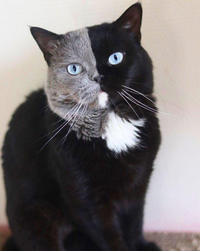 кот химера, кот нарния, двуликий кот