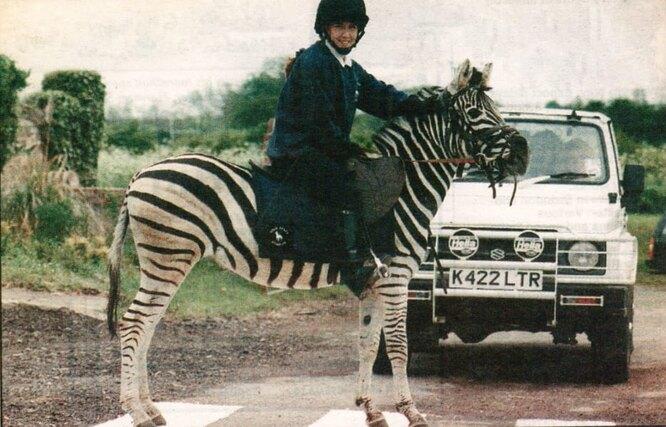 верховая зебра