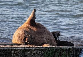 Ирландскому моржу подарят плавучий диван, чтобы он перестал топить лодки
