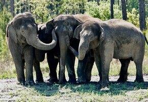 Дождались: бывшие цирковые слоны обрели дом в природе