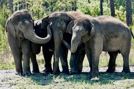 Дождались: бывшие цирковые слоны обрели дом вприроде