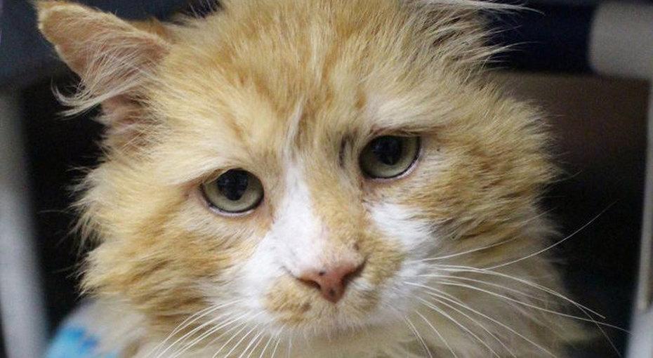 Кот прошел 20 км впоисках бросивших его хозяев - но они попросили его усыпить