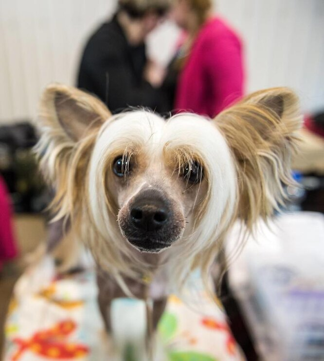 китайская хохлатая собака, собака пэрис хилтон