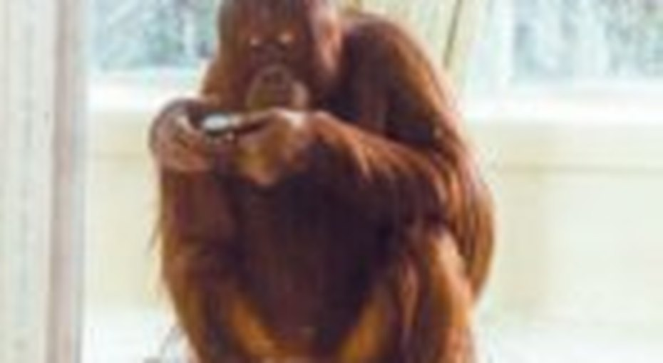 Нонья вышла всеть: теперь даже орангутанги могут это