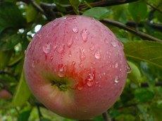 Вот это размер! Самые крупные сорта садовой малины, яблок, слив ине только