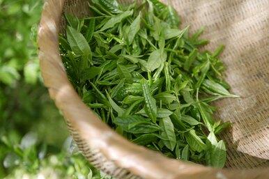 Полезен ли зелёный чай? Мифы ифакты
