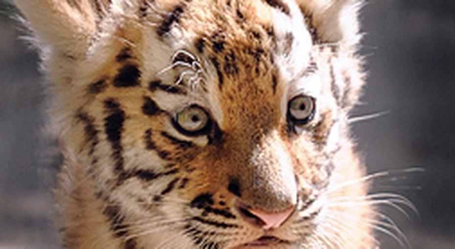 В Приморье спасли брошеного тигренка