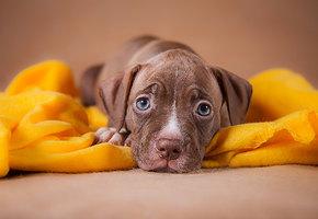 Так выглядит доверие: питбуль сложил в руки хозяйке новорожденных щенков