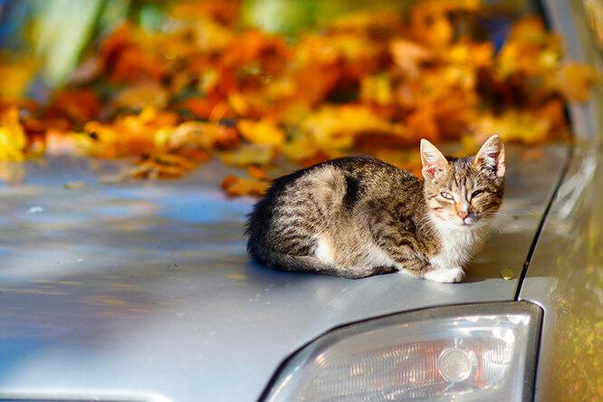 Чудесное спасение: котенок выжил, проехав вкапоте автомобиля 150 километров