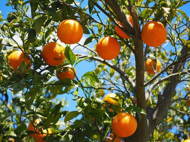 апельсины, апельсиновое дерево, апельсины на дереве, роща апельсины