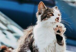 Учёные: кошка узнаёт голос хозяина, но ей просто плевать