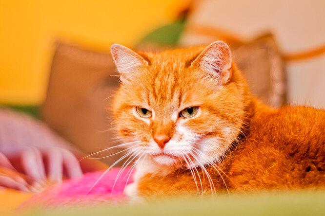 Пожилой кот делал вид, что нелюбит дочку хозяев — но они случайно узнали правду